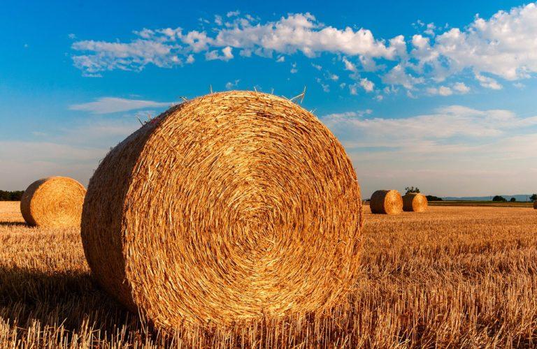 W jaki sposób skutecznie ochronić uprawy kukurydzy?
