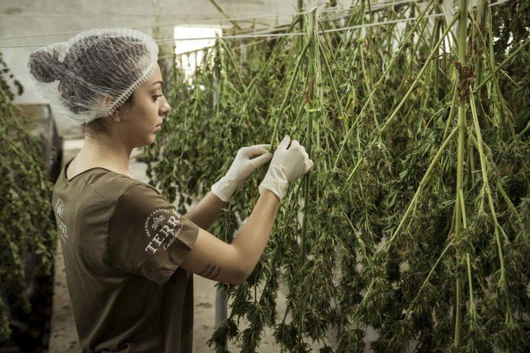 Hodowla marihuany w warunkach domowych